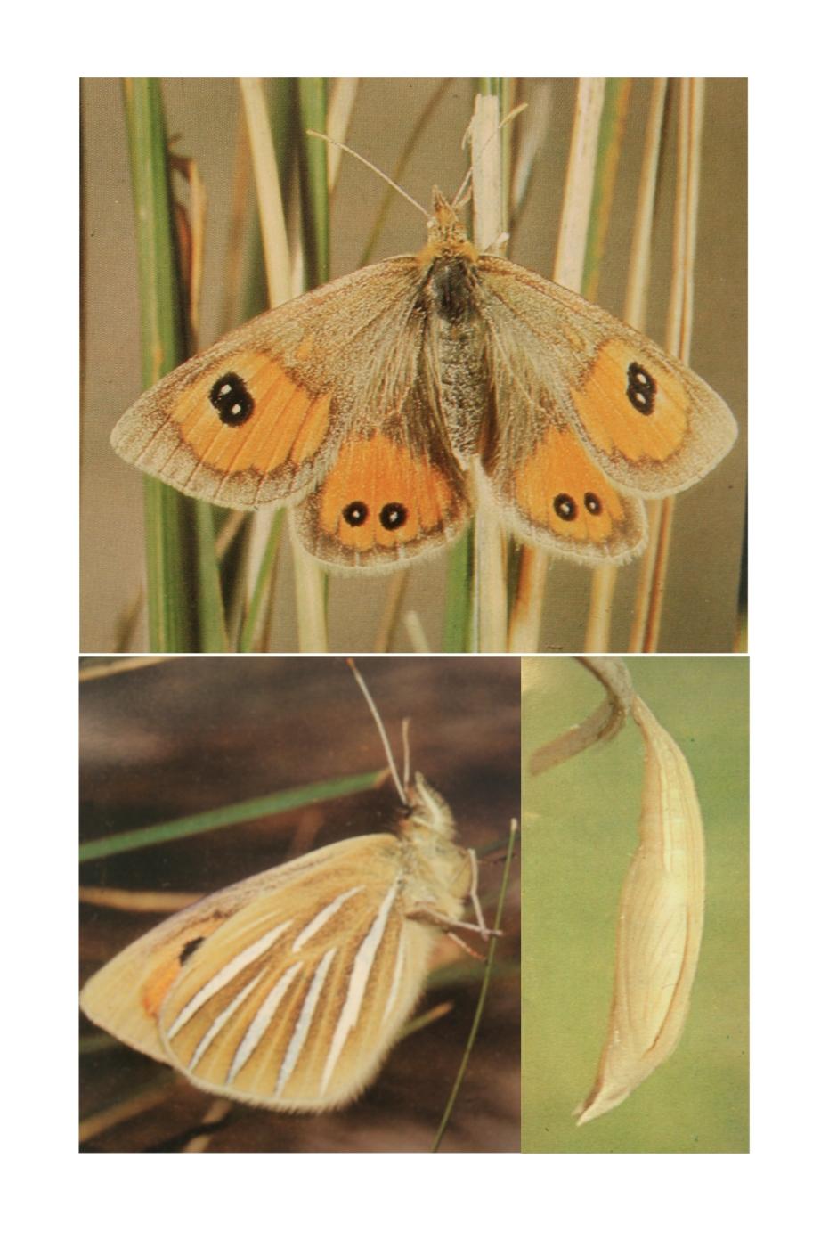 0b.Tussock Butterfly